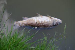 La mort d'un poisson à cause des effets des pesticides