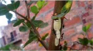 fourmis et cochenilles farineuses