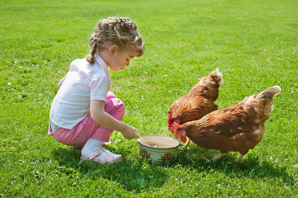 elevage poules enfants
