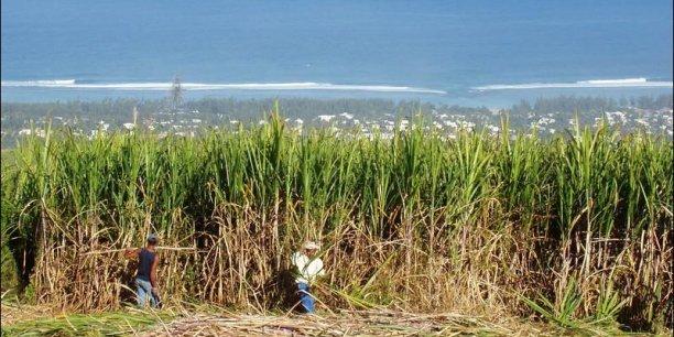 champ de canne à sucre.